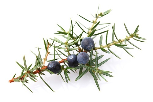 Juniper berry branch with leaves and fruit