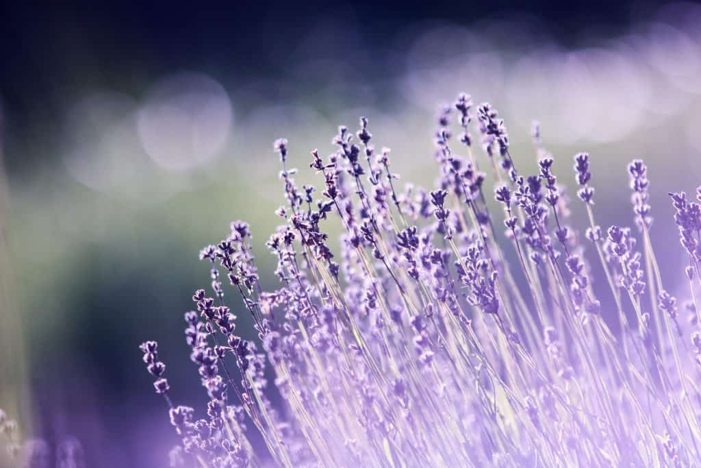 Lavender in the sunlight. Essential oils for sleep