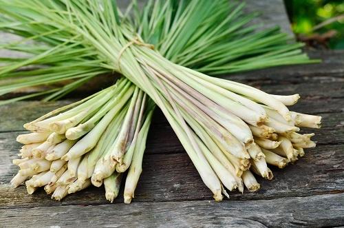 Fresh stalks of lemongrass.  Lemongrass essential oil blends.